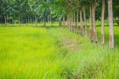 La policoltura piantando gli alberi di gomma nelle risaie è agricul Immagine Stock Libera da Diritti