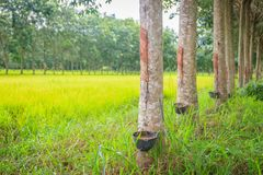 La policoltura piantando gli alberi di gomma nelle risaie è agricul Fotografia Stock Libera da Diritti