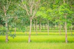 La policoltura piantando gli alberi di gomma nelle risaie è agricul Immagini Stock