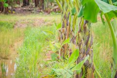 La policoltura piantando i banani nelle risaie è agricul Fotografie Stock Libere da Diritti