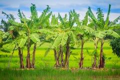 La policoltura piantando i banani nelle risaie è agricul Immagini Stock Libere da Diritti