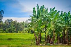 La policoltura piantando i banani nelle risaie è agricul Fotografia Stock Libera da Diritti