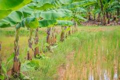 La policoltura piantando i banani nelle risaie è agricul Fotografia Stock
