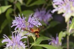 La polilla de colibrí asoma mientras que forrajea en flujo del bálsamo de abeja de la lavanda Fotografía de archivo