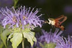 La polilla de colibrí asoma mientras que forrajea en flujo del bálsamo de abeja de la lavanda Foto de archivo libre de regalías