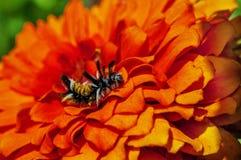 La polilla de mechón del Milkweed Caterpillar en Zinnia florece Fotografía de archivo libre de regalías