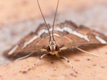 La polilla de Webworm hawaiana de la remolacha (Spoladea Recurvalis) se cierra para arriba Imagenes de archivo