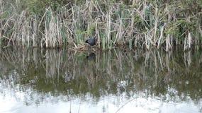 La polla de agua es el guarda en las cañas Ngetal 2 foto de archivo libre de regalías