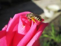 La pollinisation de a monté Photographie stock