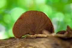 La polyporaceae non identificata di un fungo del polypore si sviluppa su un ramo di albero di decomposizione immagini stock libere da diritti