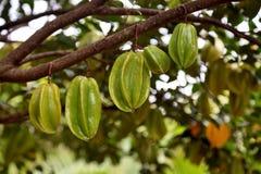la pomme comme l'Asie a loin trouvé le genre du fruit i pour connaître la plupart du temps l'étoile Photographie stock libre de droits