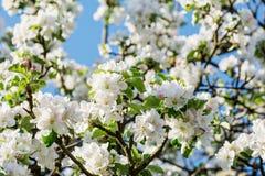 La pomme de Beautyful fleurit au printemps sur le fond de ciel bleu Images libres de droits
