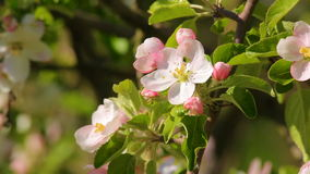La pomme de floraison fleurissent le plan rapproché, en lequel rampe l'insecte banque de vidéos