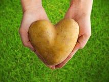La pomme de terre a formé le coeur dans les mains sur l'herbe verte Images stock