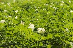 La pomme de terre verte bague le blanc de floraison sur la plantation Maturation du secteur agraire de future récolte de l'indust Images libres de droits
