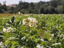 La pomme de terre verte bague le blanc de floraison sur la plantation Maturation du secteur agraire de future récolte de l'indust Photos stock
