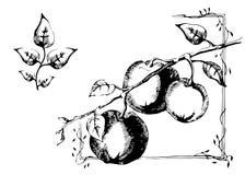 La pomme noire et blanche de dessin graphique part sur la branche Photographie stock libre de droits