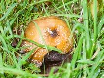 La pomme putréfiée avec le champignon blanc et les mouches sur l'herbe parquettent f tombé images libres de droits