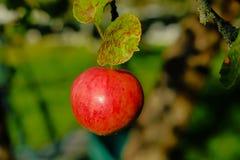 La pomme rouge se développent sur une branche photos libres de droits