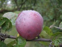 La pomme rouge spartiate avec de l'eau se laisse tomber, pousse des feuilles Fruit organique, jardin, automne Photo libre de droits