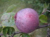La pomme rouge spartiate avec de l'eau se laisse tomber, pousse des feuilles Fruit organique, jardin, automne Images libres de droits