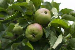 La pomme verte chante et accroche sur un arbre dans un jardin sur un fond vert images libres de droits