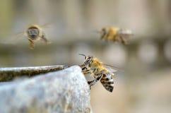 La porción de abejas está volando alrededor del agua imágenes de archivo libres de regalías