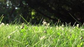 La porción de hormigas coas alas camina en hierba y mosca para arriba Jerarquía del insecto durante tiempo de acoplamiento el pul almacen de metraje de vídeo