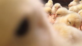 La porción de pequeños polluelos se pregunta la cámara y gojea Granja de pollo Polluelos del primer en jaula almacen de video