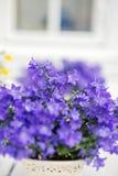 La porpora delicata fiorisce la verbena sulla tavola all'esterno Fotografia Stock