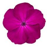 La porpora dentella il fiore selvaggio Isoalted del Dianthus su bianco Immagine Stock