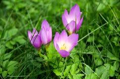 La porpora di rosa selvaggio fiorisce il primo piano Fotografia Stock