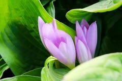 La porpora di rosa selvaggio fiorisce il primo piano Immagine Stock