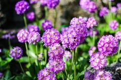 La porpora fiorisce il denticulata della primula nel giardino di primavera Fotografie Stock Libere da Diritti