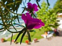 La porpora fiorisce vicino alla spiaggia nel lago sanguinato in alpi slovene Immagine Stock