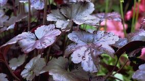 La porpora lascia le goccioline di acqua su loro Il movimento della macchina fotografica permette di vedere il fiore da tutti i l video d archivio