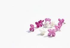 La porpora lilla fiorisce solated itenderness il ` bianco delle donne del fondo Immagine Stock