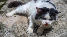 La posa del gatto Fotografia Stock