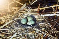 La pose eggs dans un nid sur l'eau dans le sauvage Photos stock
