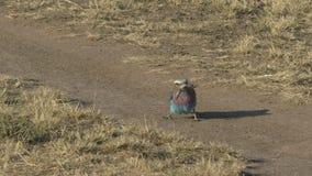 La posibilidad muy remota de un lagarto que era matado por una lila breasted el rodillo en reserva del juego de Mara del masai almacen de video