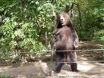 La position d'ours brun Image libre de droits