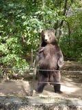 La position d'ours brun Photographie stock libre de droits