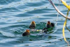La poule d'eau adulte a plongé au-dessous de la surface de l'eau comme les canetons regardent dessus photo libre de droits