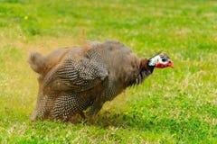 La poule de Guinée époussette après qu'elle ait nettoyé des plumes Oiseau de pintade Image stock