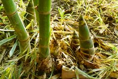La pousse de bambou, pousses de bambou pendant la pluie assaisonnent photos libres de droits