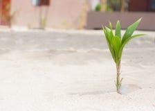 La pousse de palmier de noix de coco avec le vert laisse l'élevage de l'écrou sur la plage blanche de sable avec l'espace de copi Photo libre de droits