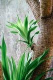 La pousse du vert laisse le gagnep de loureiri de dracaena approprié au CCB Image libre de droits