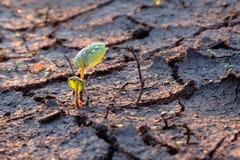La pousse verte de jeunes s'est développée sur la terre sèche criquée Image libre de droits