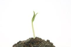 La pousse verte neuve dure vers le haut Photographie stock libre de droits