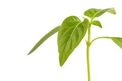 La pousse verte plante l'élevage du tas du sol, d'isolement sur un fond blanc Écologie et espoir Photos stock